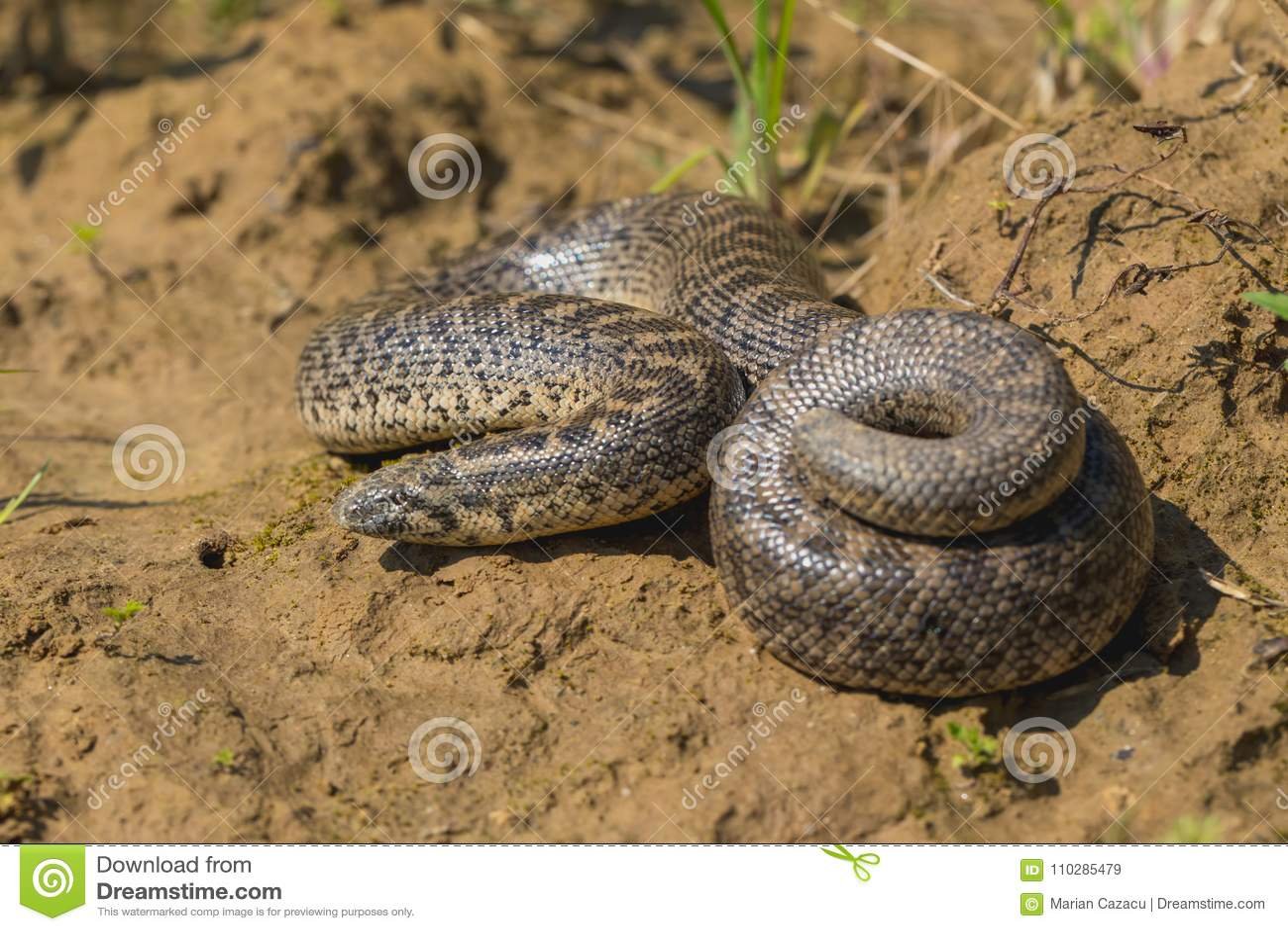 Boa άμμου ακοντίων - turcicus jaculus Eryx