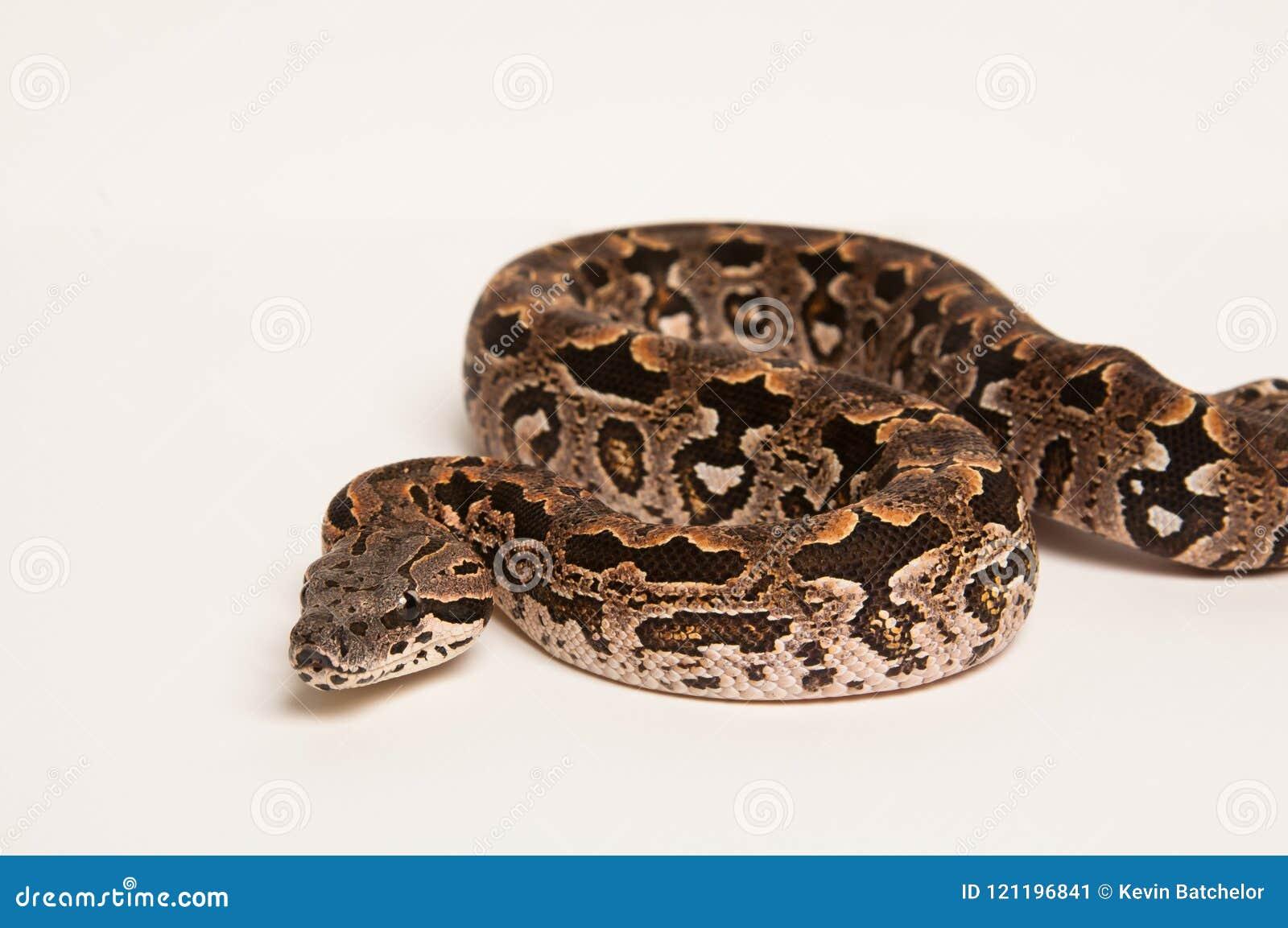 Boa constrictor auf Weiß