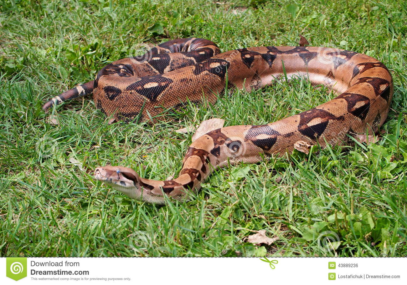 Boa Constrictor On Grass Stock Photo Image Of Snake 43889236
