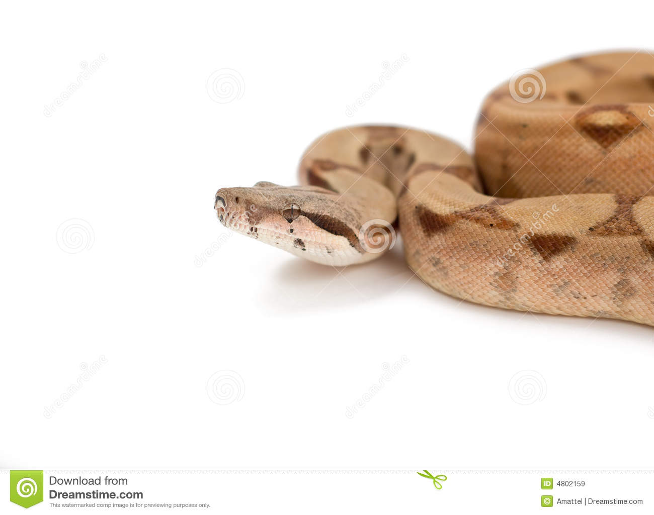 Boa constrictor isolated on white
