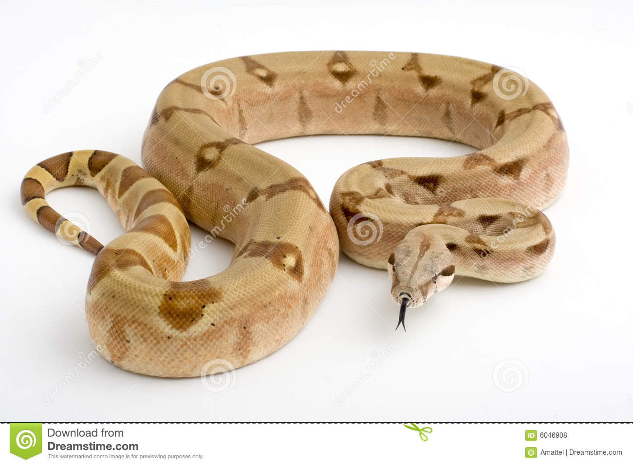 Boa Constrictor isolated on white background