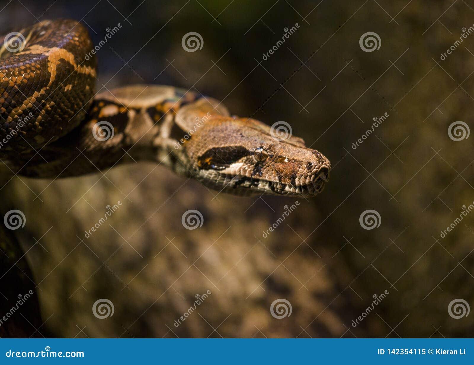 Boa- constrictorBoa constrictor