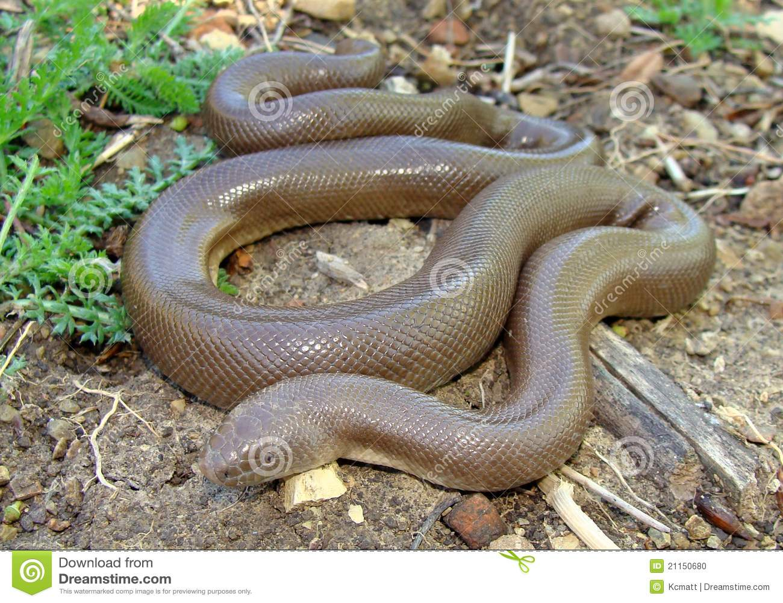 Boa De Goma Serpiente Bottae Del Charina Foto De