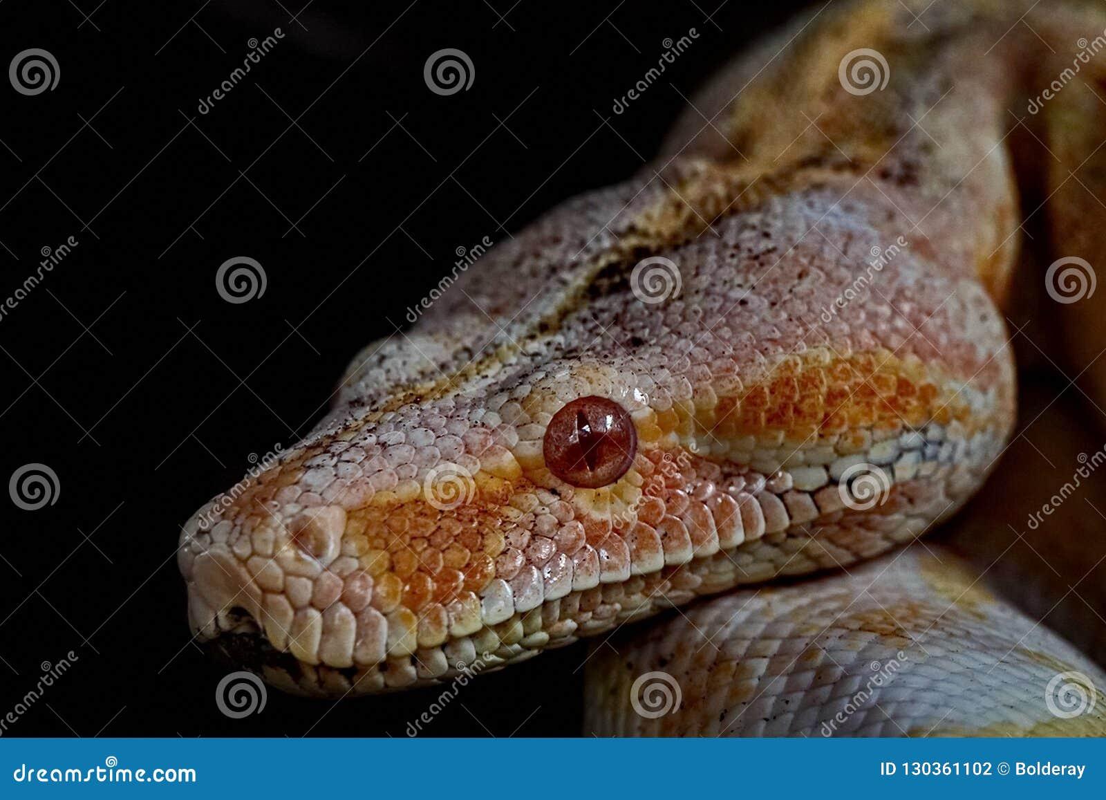 Boa del arco iris Cenchria suramericano de Epicrates del constrictor de boa Una especie terrestre