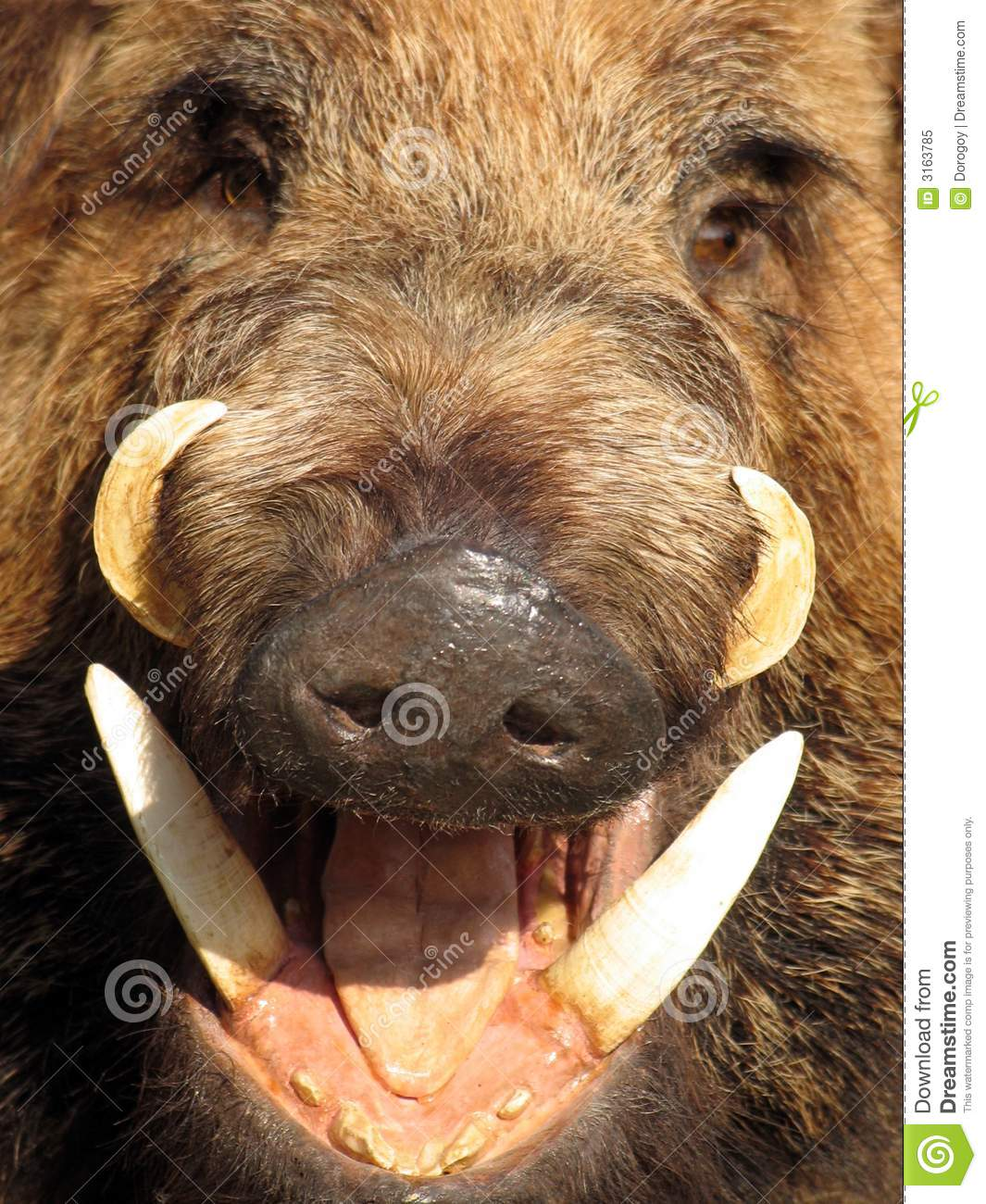 Boar Closeup Royalty Free Stock Photo - Image: 3163785