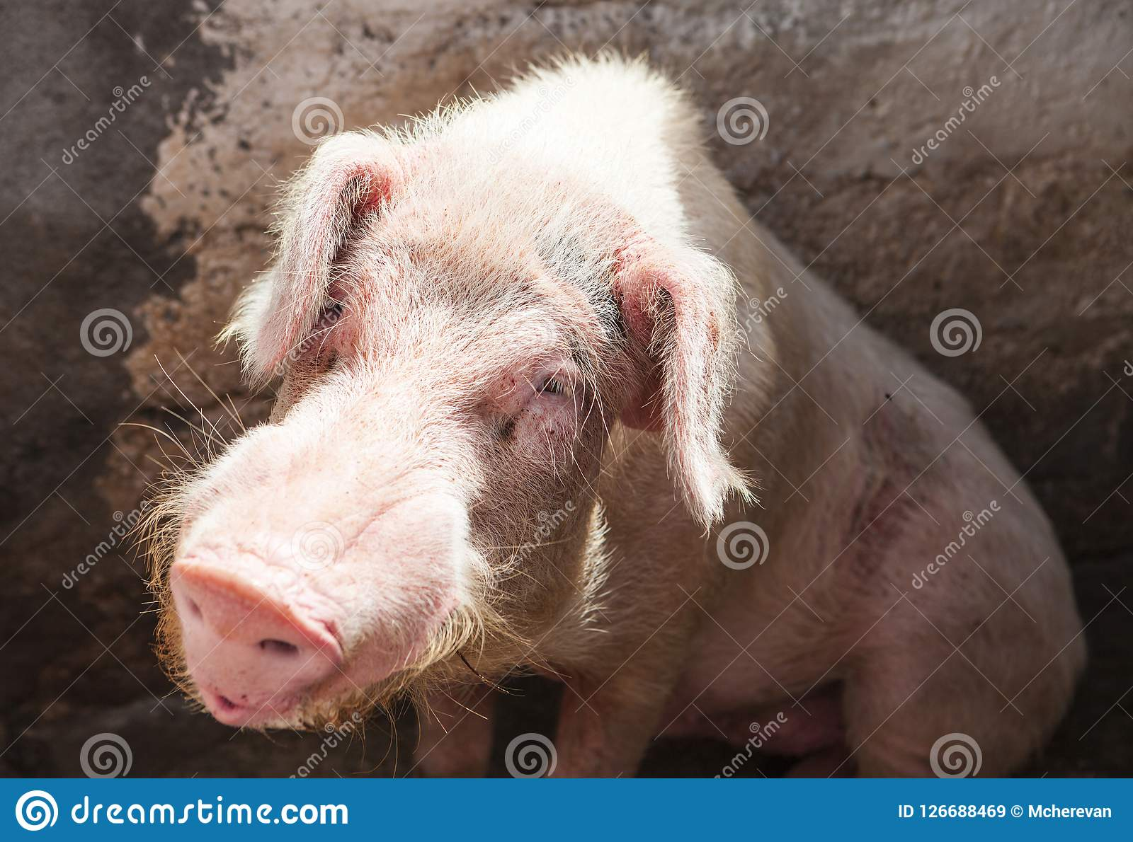 Boar  Large Pig Sitting In A Pen On The Farm  Stock Image