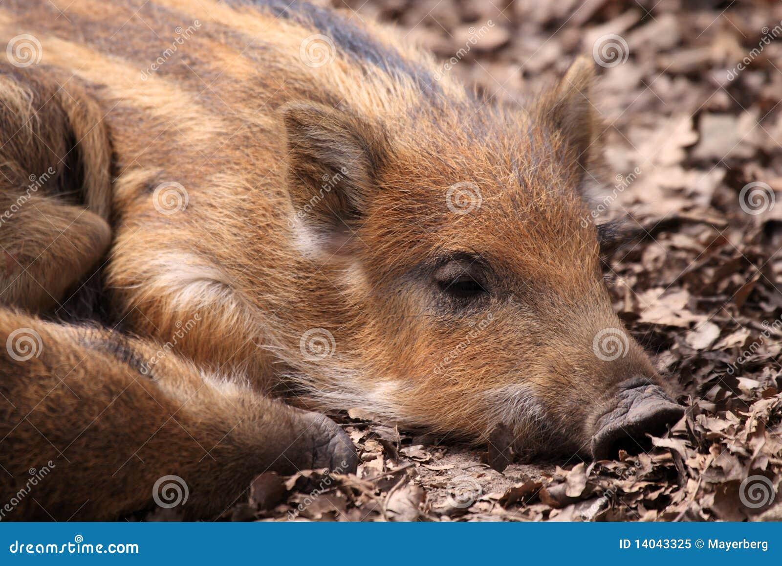 The Boar Or Wild Boar (Sus Scrofa) Stock Image - Image of
