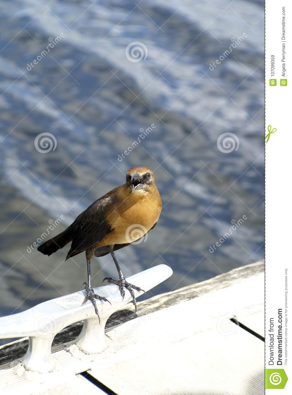 Boat-tailed grackle in Everglades National Park, Florida, USA