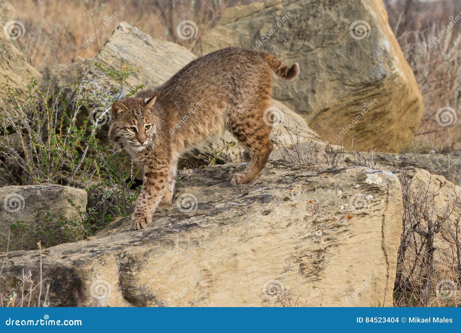 Bobcat on hunt