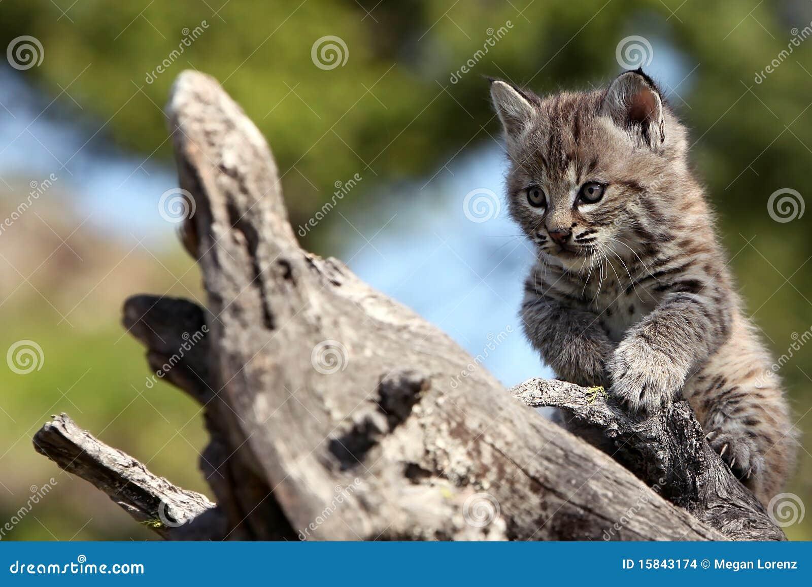 Bobcat Kittens In The Wild