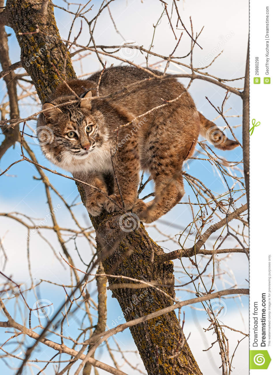 bobcat lynx rufus crouches camouflaged in tree stock