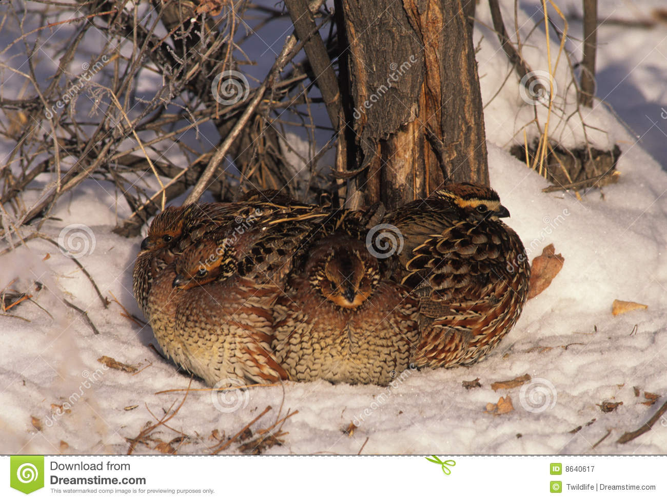 Bobwhite quail covey - photo#2