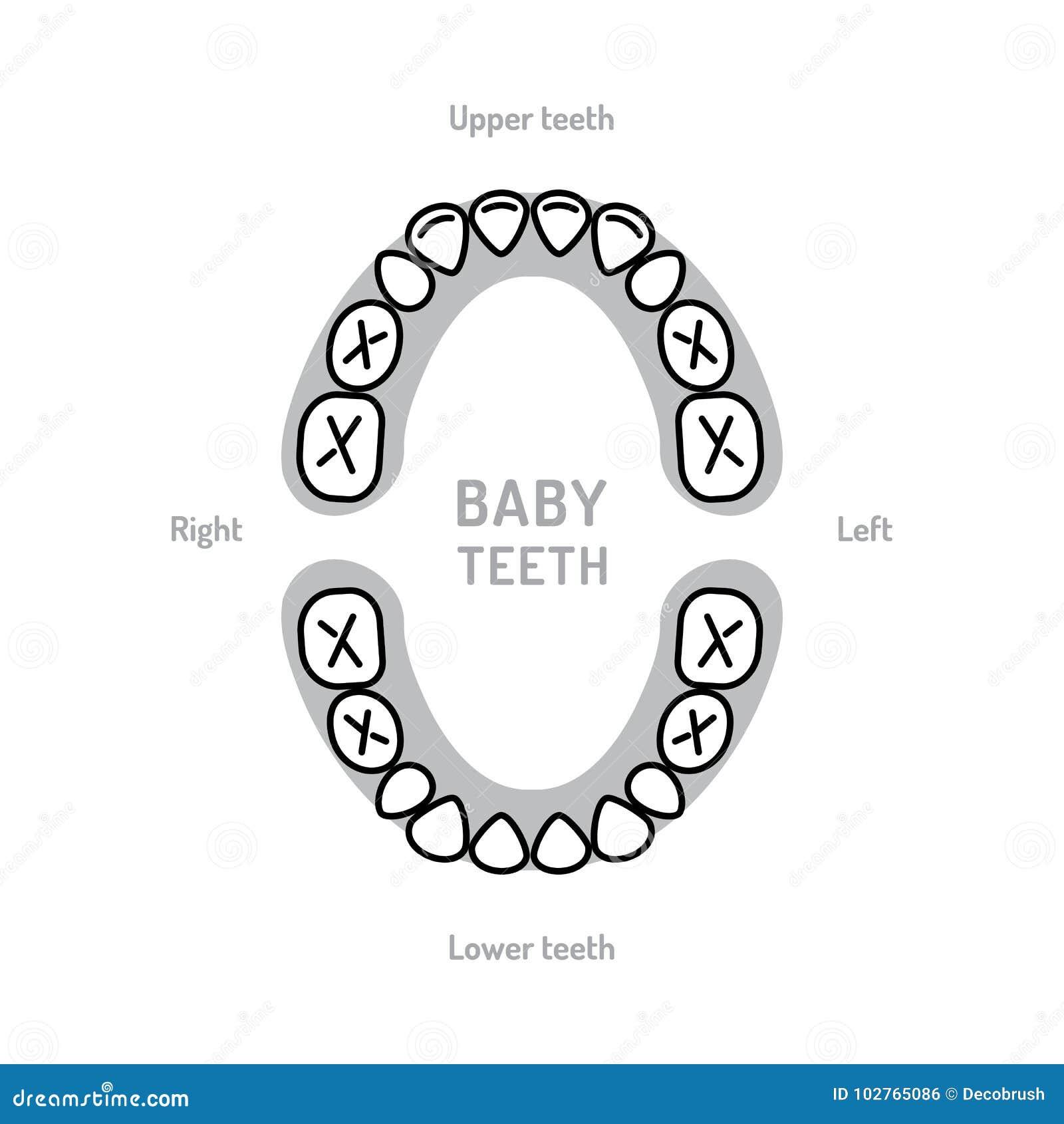 Bocca del bambino del grafico del dente da latte Denti primari, denti decidui, o denti di latte Linea sottile icone dell odontoia