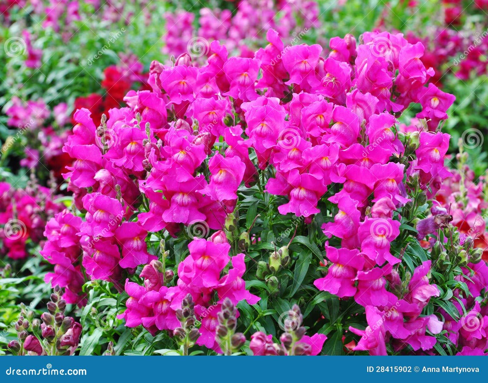 Bocca di leone di fioritura fotografia stock immagine di for Bocca di leone in vaso