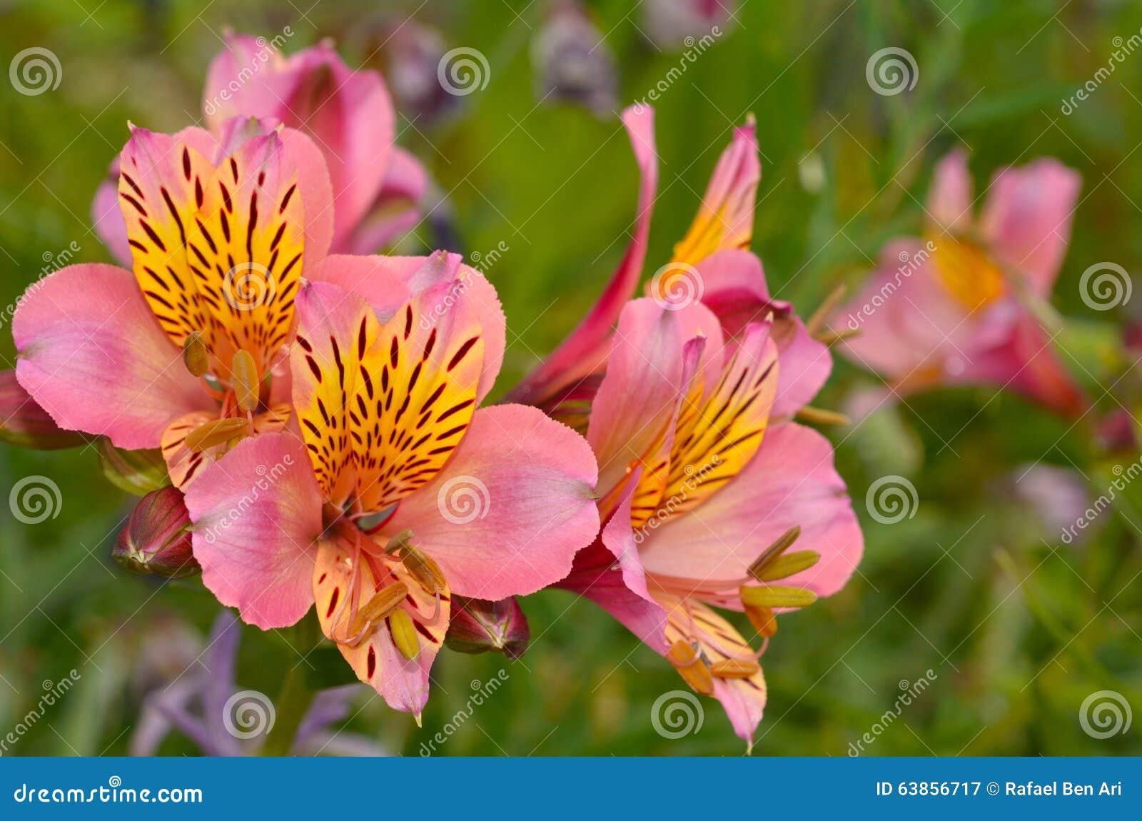 Bocca di leone fiore di antirrino immagine stock for Bocca di leone in vaso