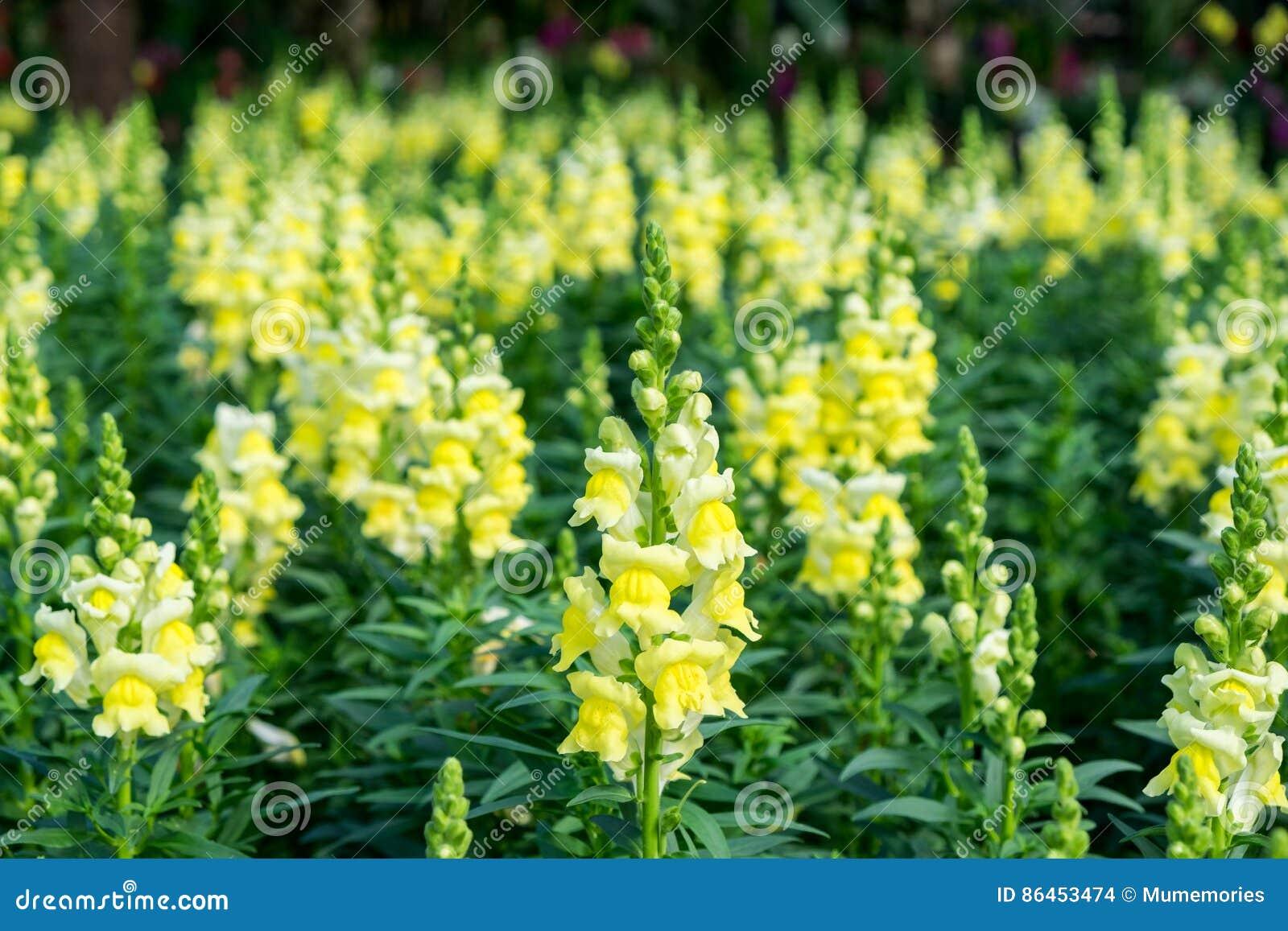 Bocca di leone scrophulariaceae fiore giallo bello for Bocca di leone in vaso