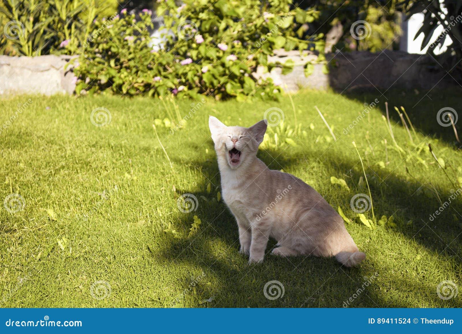 Bocejos do gatinho do gato de gato malhado