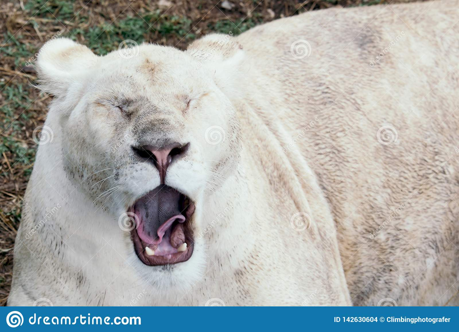 Bocejos do leão no jardim zoológico