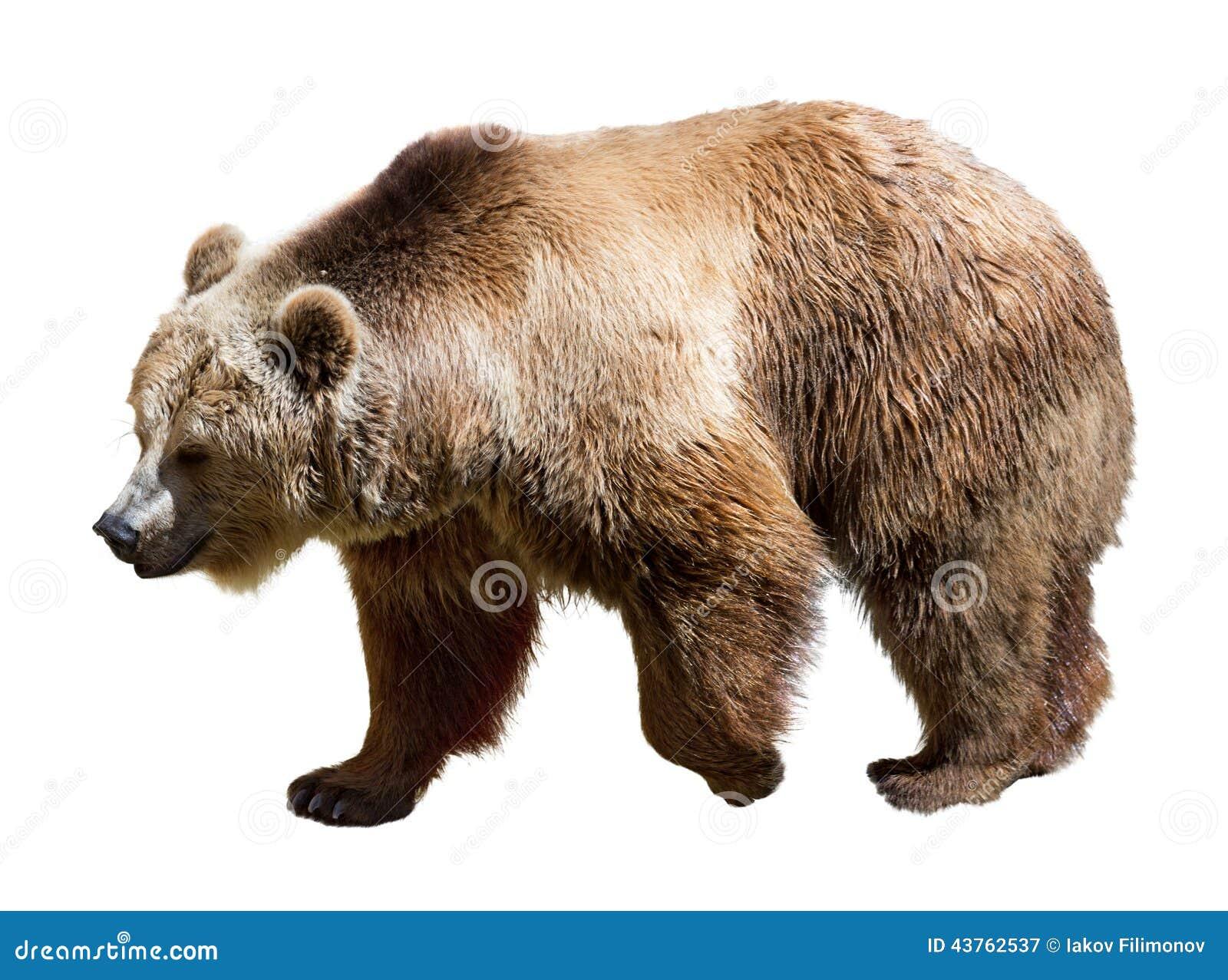 Boczny widok niedźwiedź Odizolowywający nad bielem