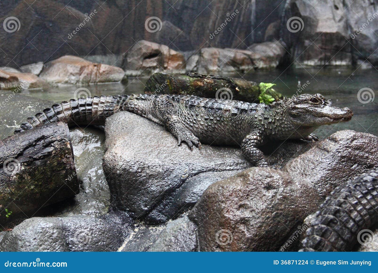 Boczny widok Yangtze aligator