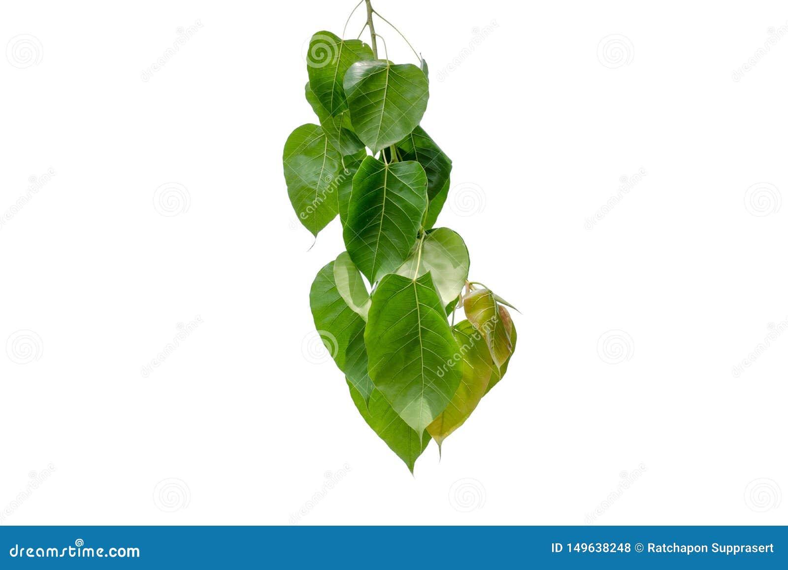 Bodhi绿色在白色背景隔绝的叶子树