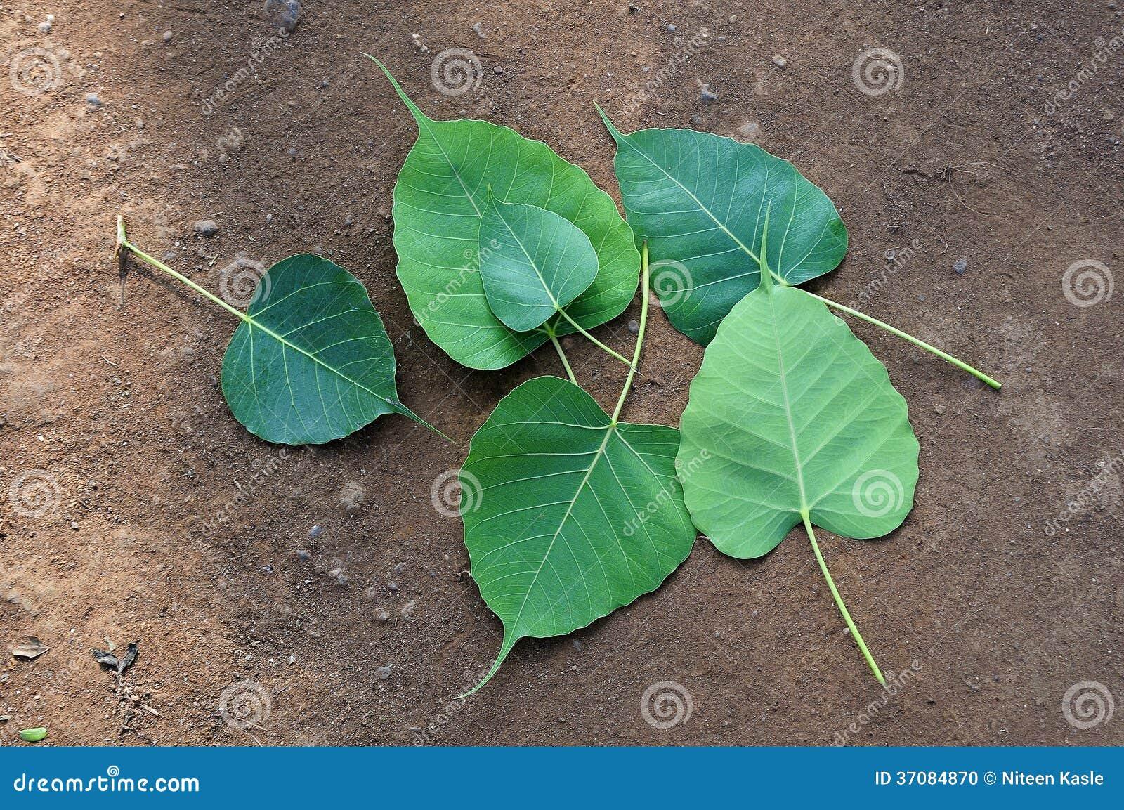 Bodhi Peepal Leaves Stock Photo Image 37084870