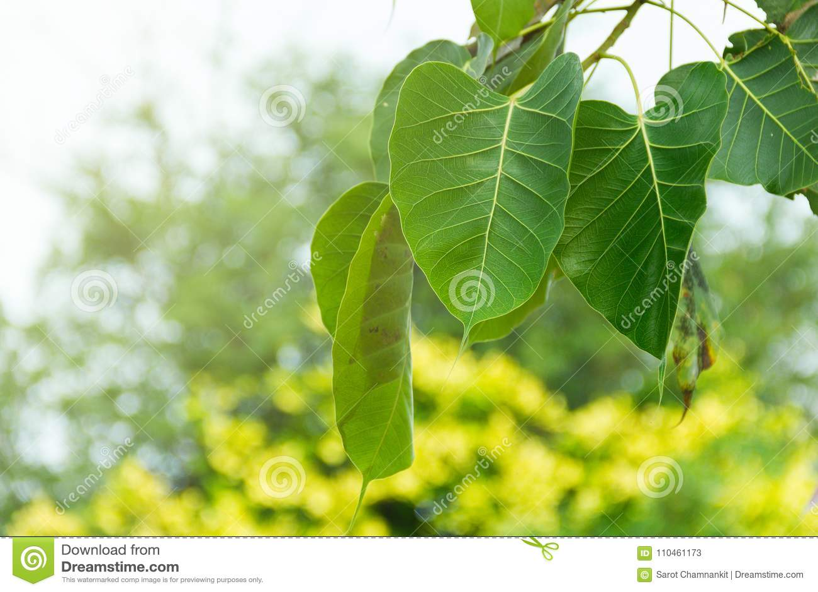 Bodhi treeleaf