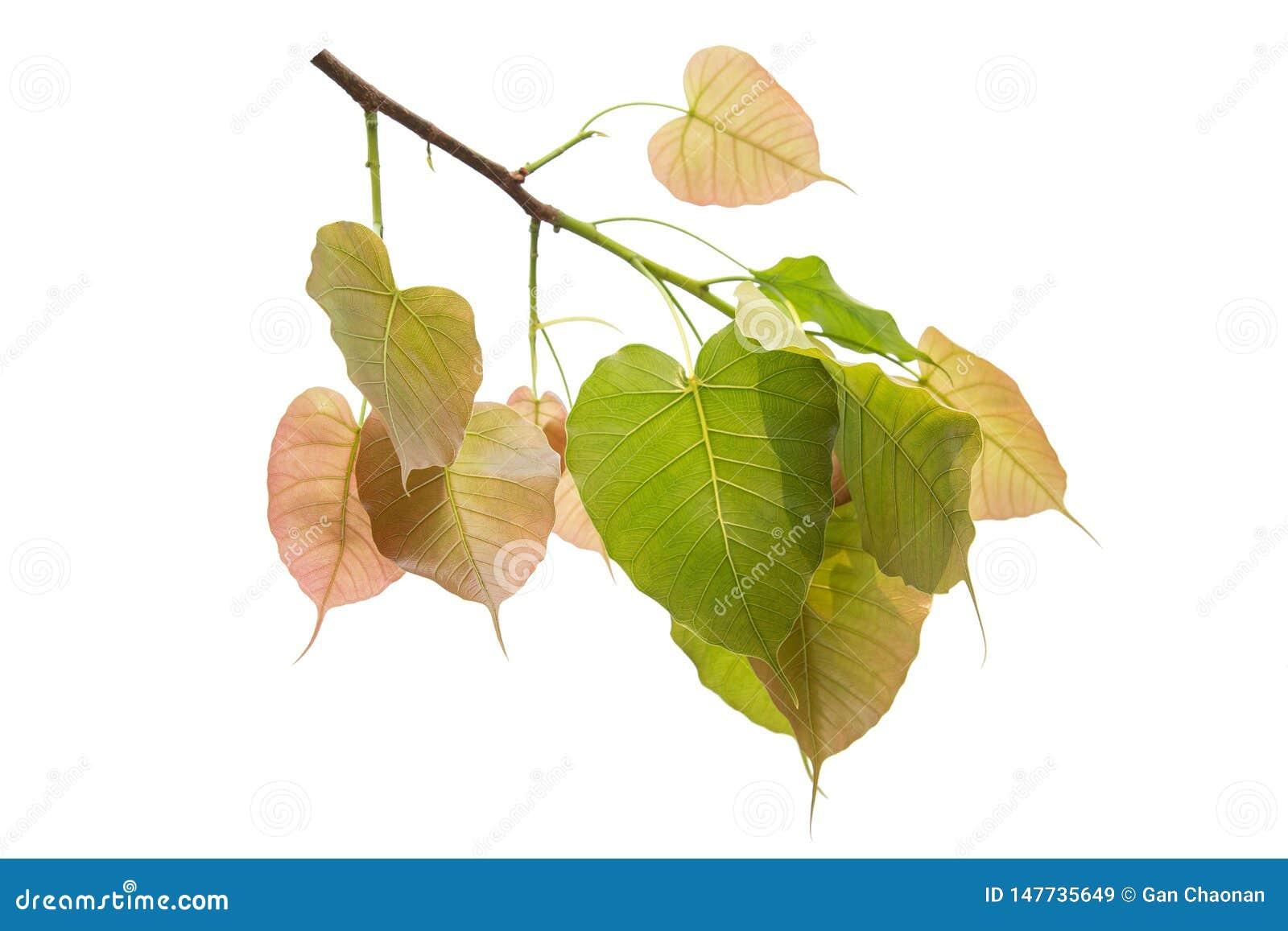 Bodhi verl?sst lokalisiert auf wei?em Hintergrund oder Peepal-Blatt vom Bodhi-Baum