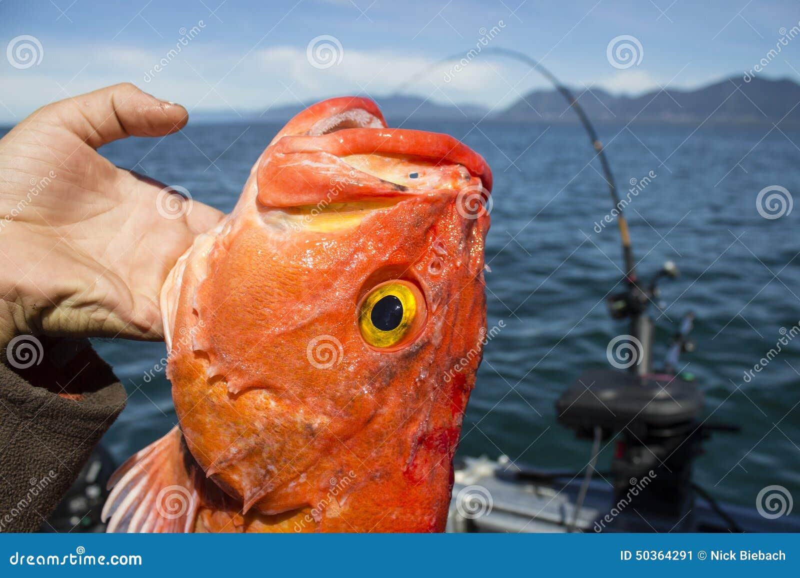 Bodião travado ao pescar a costa oeste