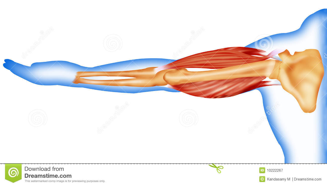 bones and muscles Thieme anatomy posters help students quickly and easily identify all the  important bones and muscles in the human body each life-sized (22 x 62 inches)  and.