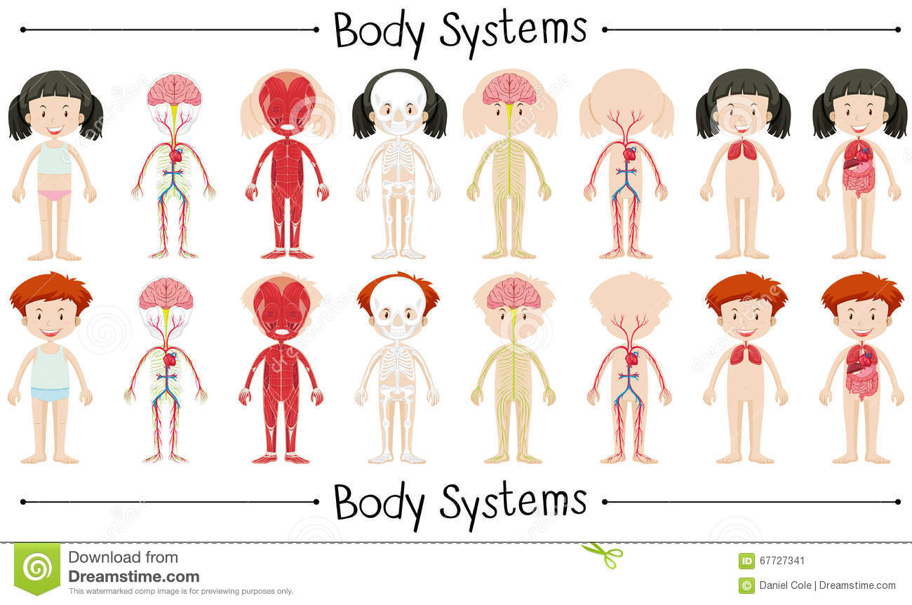 Body System Of Boy And Girl Stock Vector Illustration Of Character
