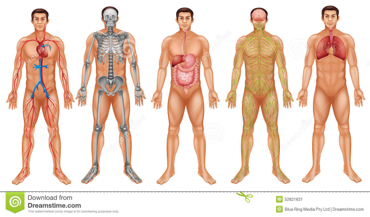 human body systems stock vector - image: 68672583, Muscles