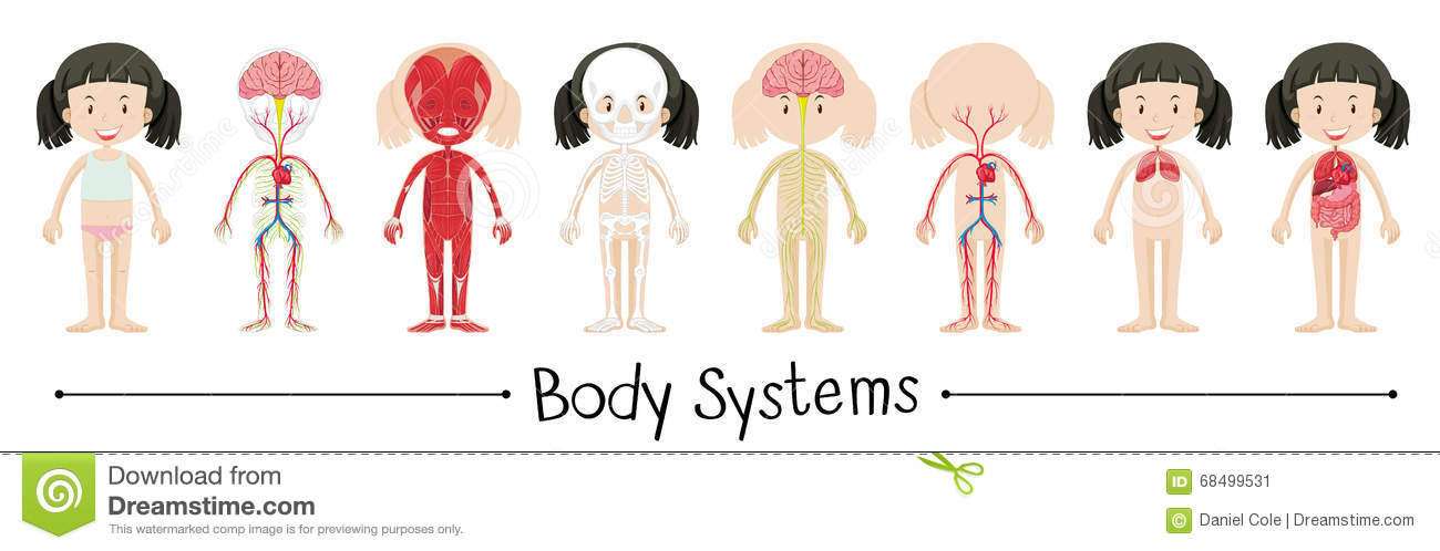body systems Welcome to innerbodycom, a free educational resource for learning about human anatomy and physiology explore the anatomy systems of the human body.
