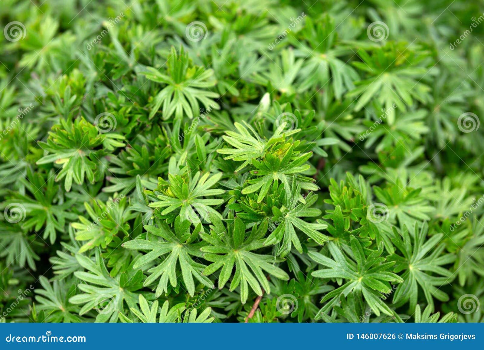 Bodziszków liście w wiosna ogródzie, tła pojęcie