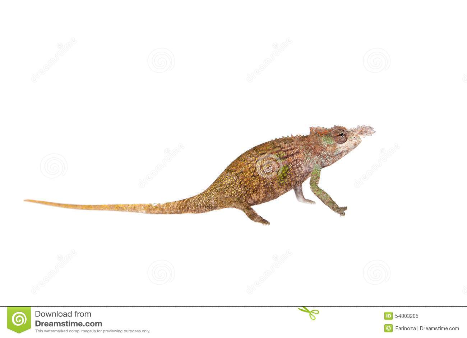 Boehme s chameleon, kinyongia boehmei, on white