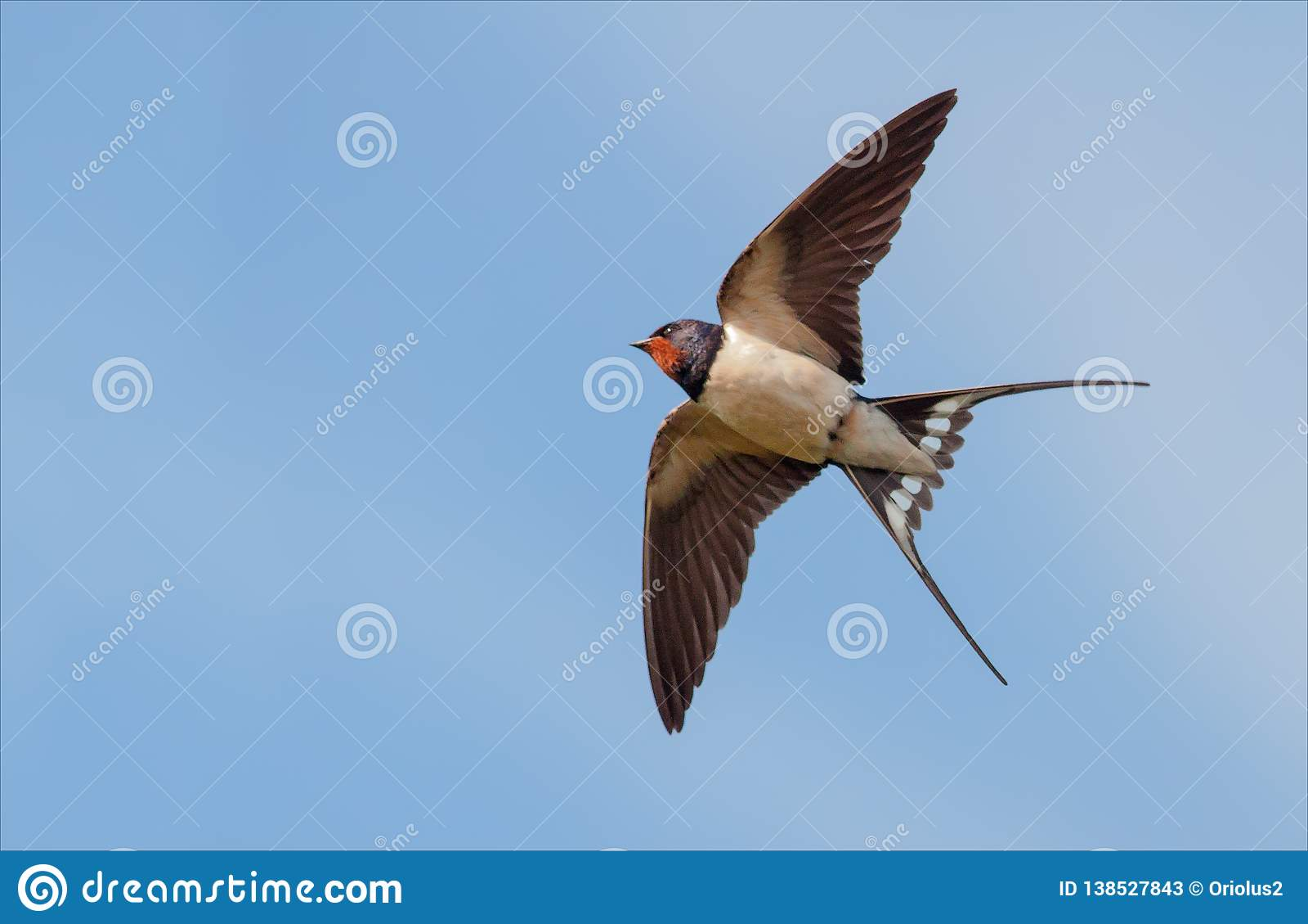 Boerenzwaluw vliegen in blauwe hemel met uitgerekte vleugels