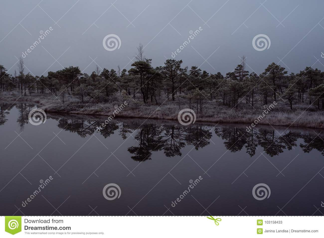 Bog with small pine trees covered in early winter morning frost
