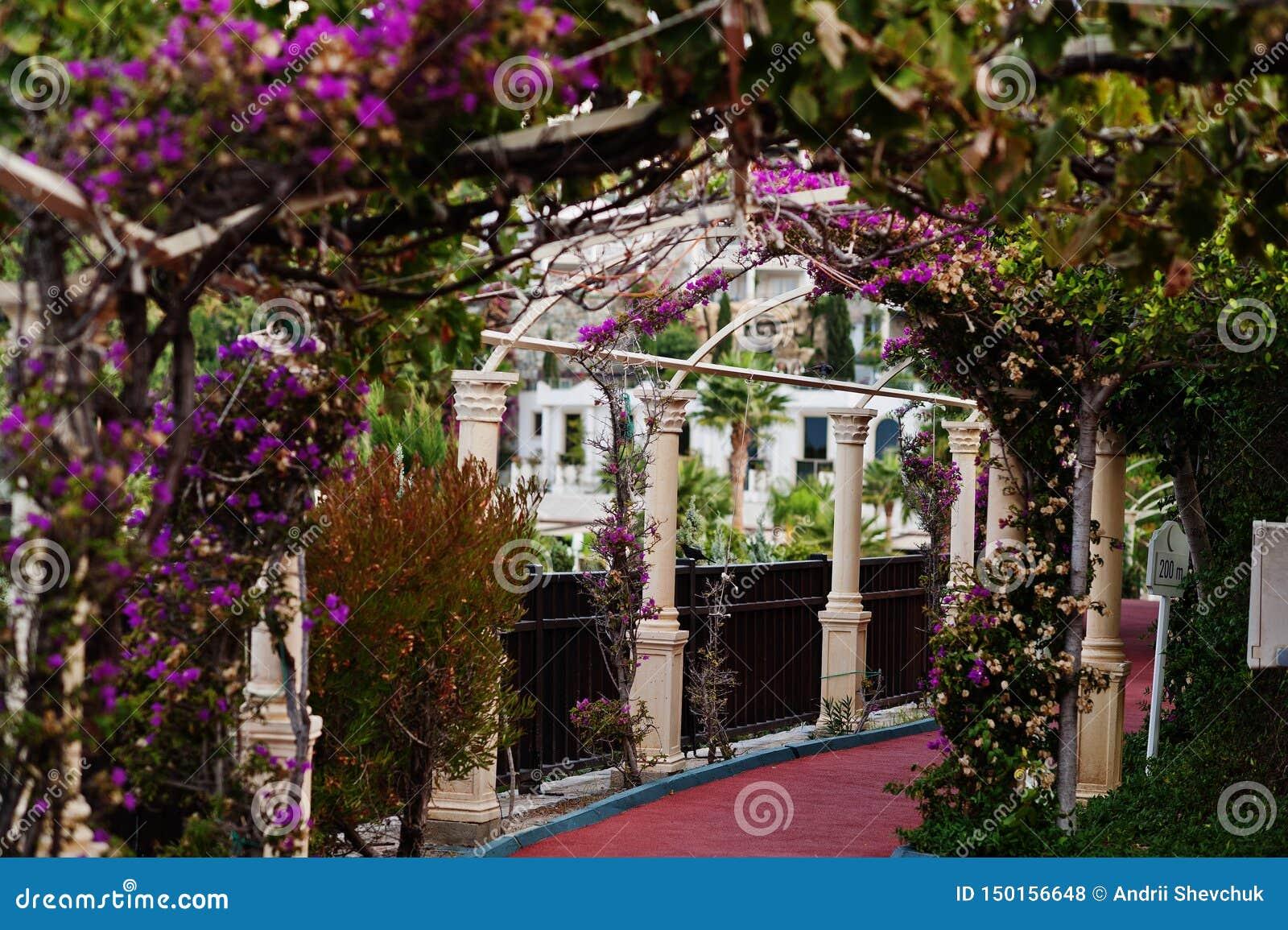 Bogen von purpurroten Blumen des Bouganvillas in die Türkei-Erholungsort