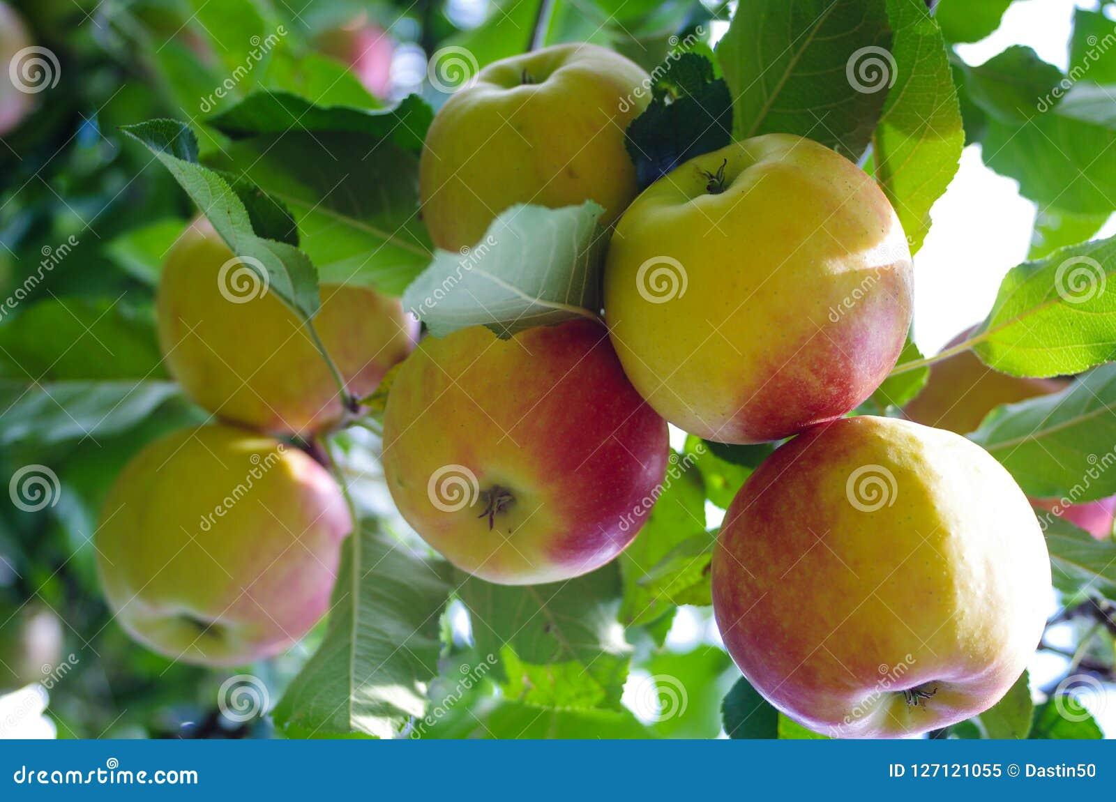 Bohemia Gold Apples