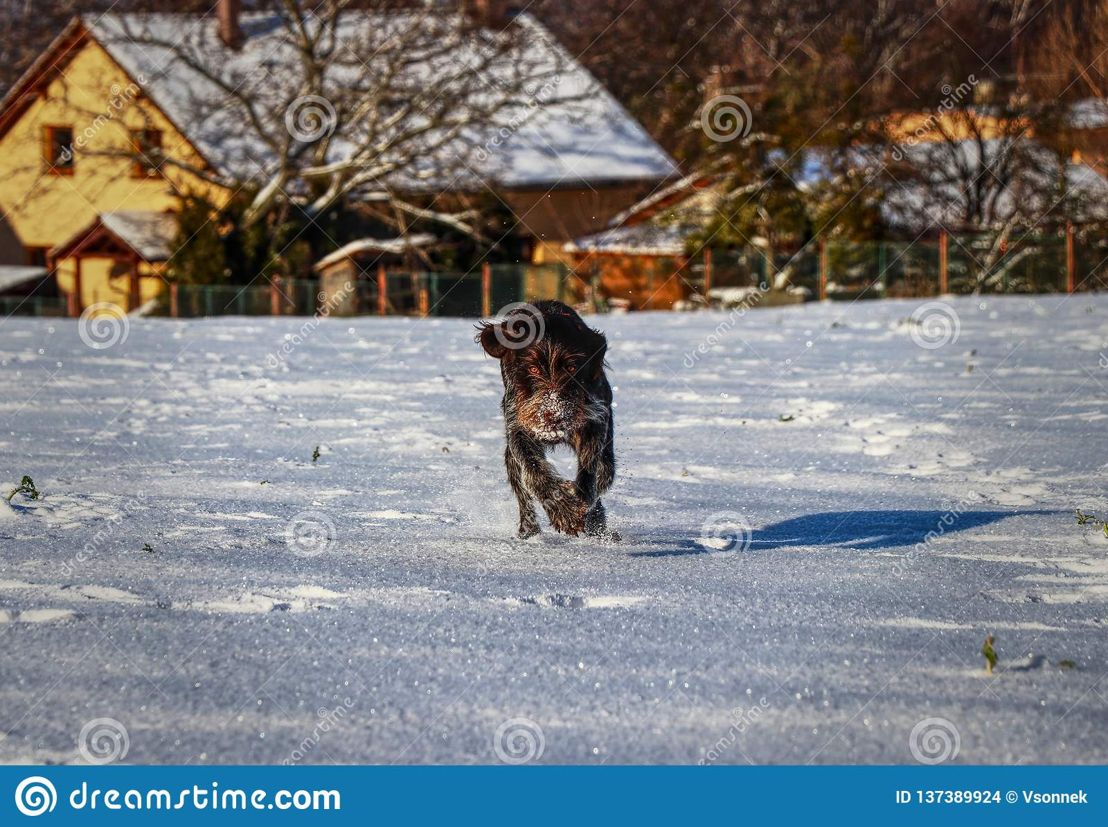 A Bohemian Wire-haired Pointing Griffon or korthals griffon running in snow straight to me. So playful female dog. Brown body full