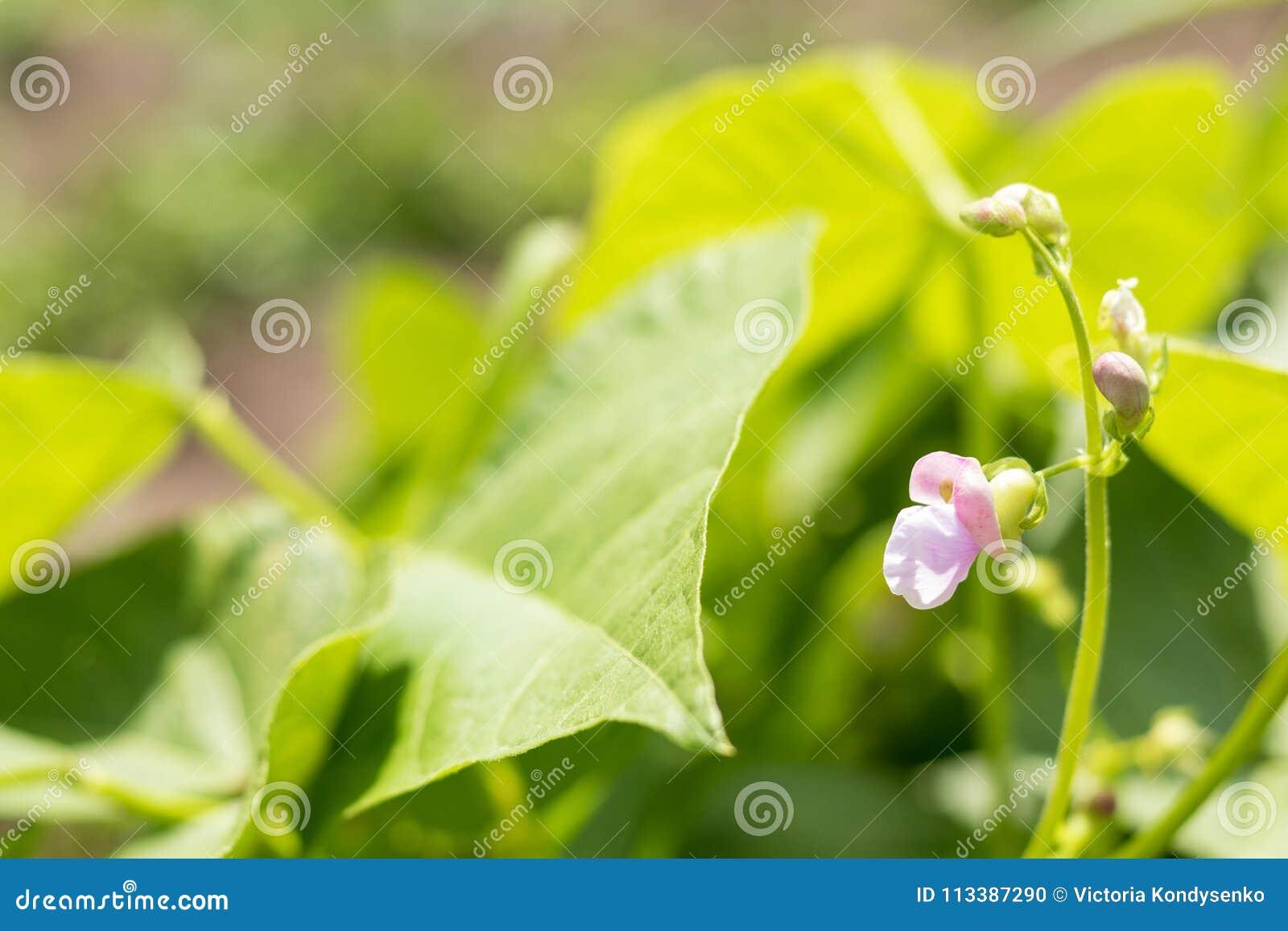 Bohnenanlagen und -blumen als sehr netter natürlicher Hintergrund