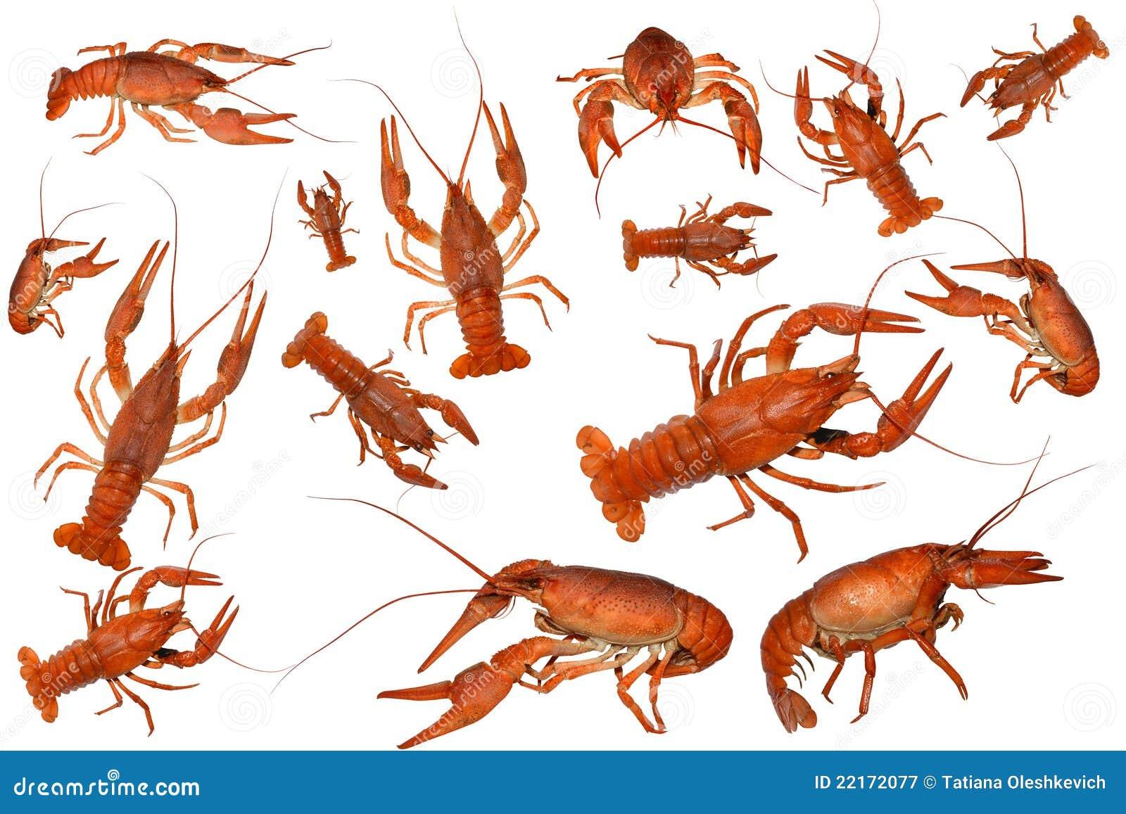 Boiled crawfish isolated stock image. Image of claw, crayfish - 22172077