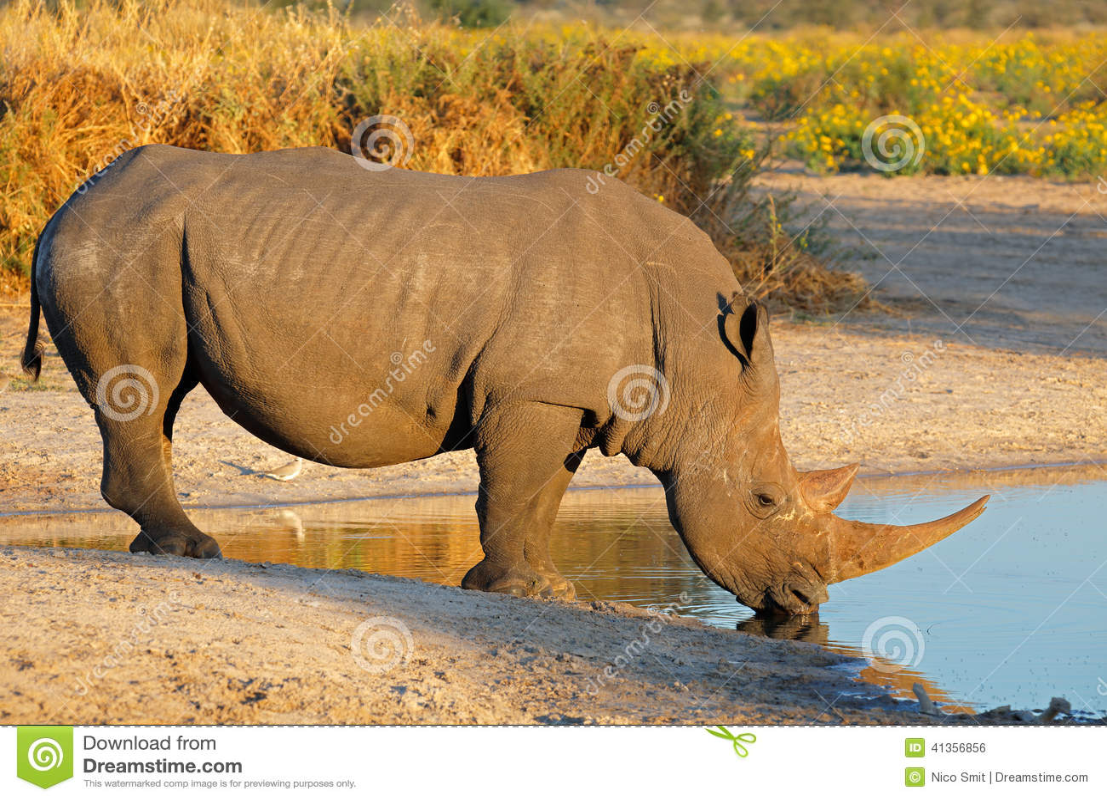 Boire de rhinocéros blanc