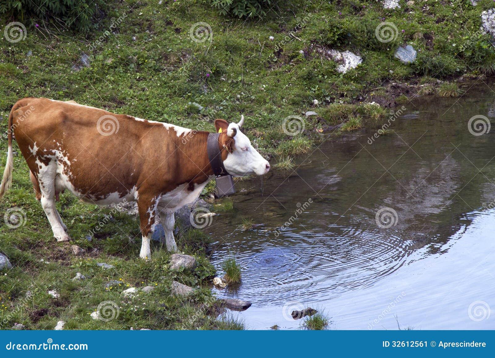 Boire de vache