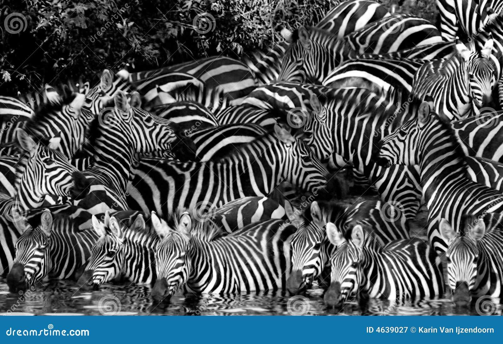 Boire de z bre noir et blanc image stock image 4639027 - Papier peint zebre noir et blanc ...