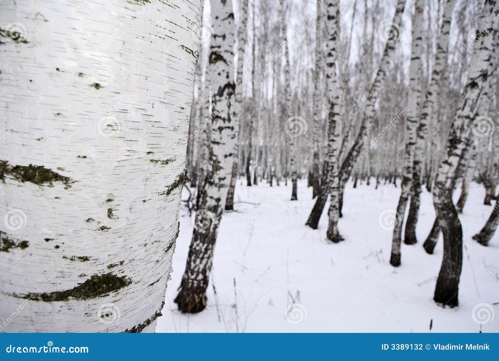 Bois De Bouleau En Hiver Russie Photographie stock Image 3389132 # Bois De Bouleau Utilisation