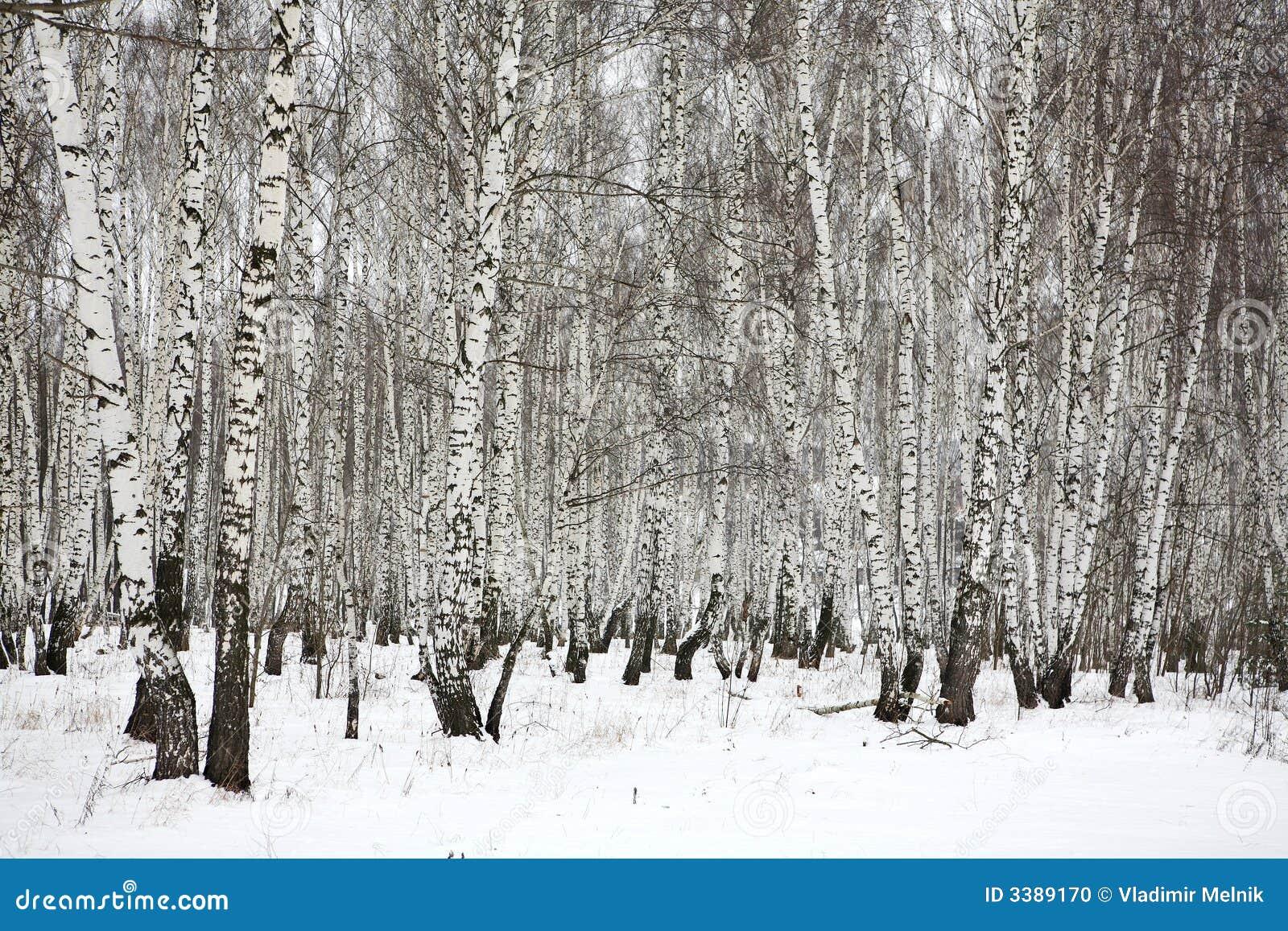 bois de bouleau en hiver russie photo stock image 3389170. Black Bedroom Furniture Sets. Home Design Ideas