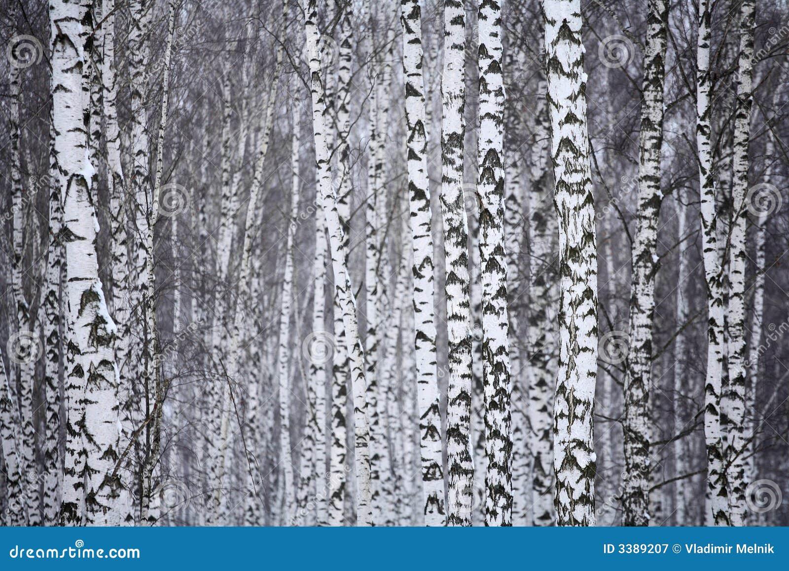 Bois De Bouleau En Hiver Russie Photographie stock libre de droits Image 3389207 # Bois De Bouleau Utilisation