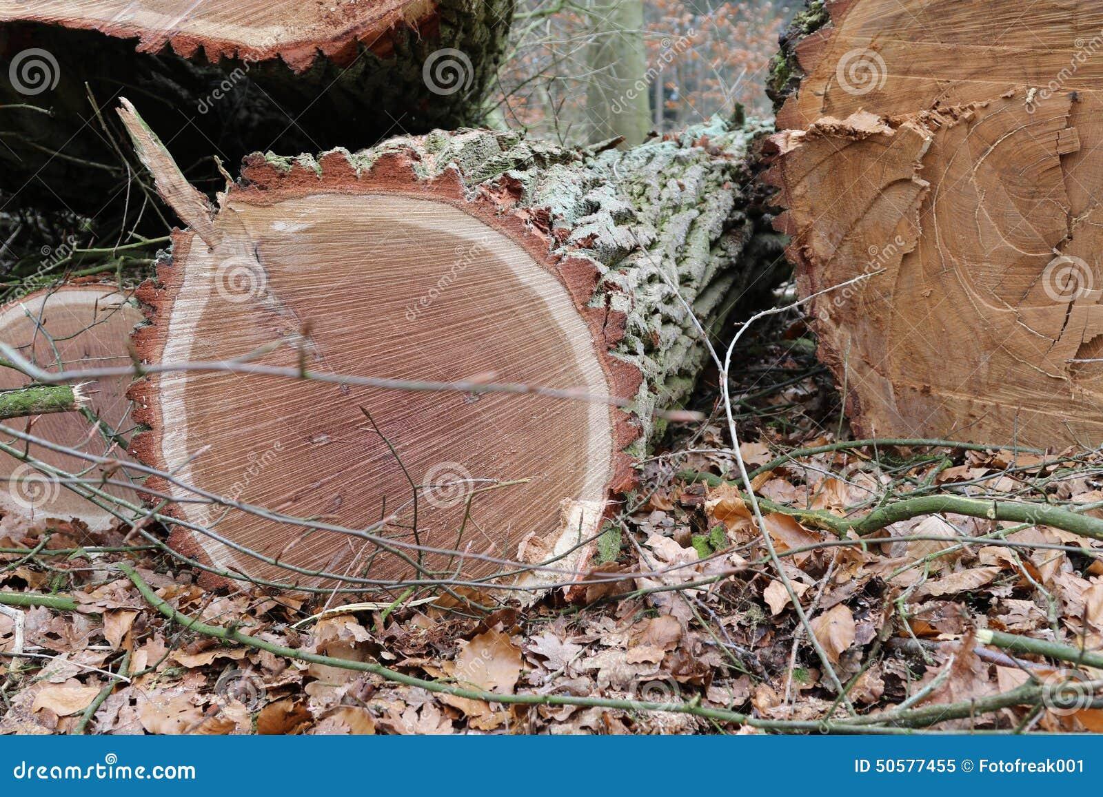 Bois de ch ne sci de tronc d 39 arbre photo stock image 50577455 - Achat tronc arbre decoratif ...
