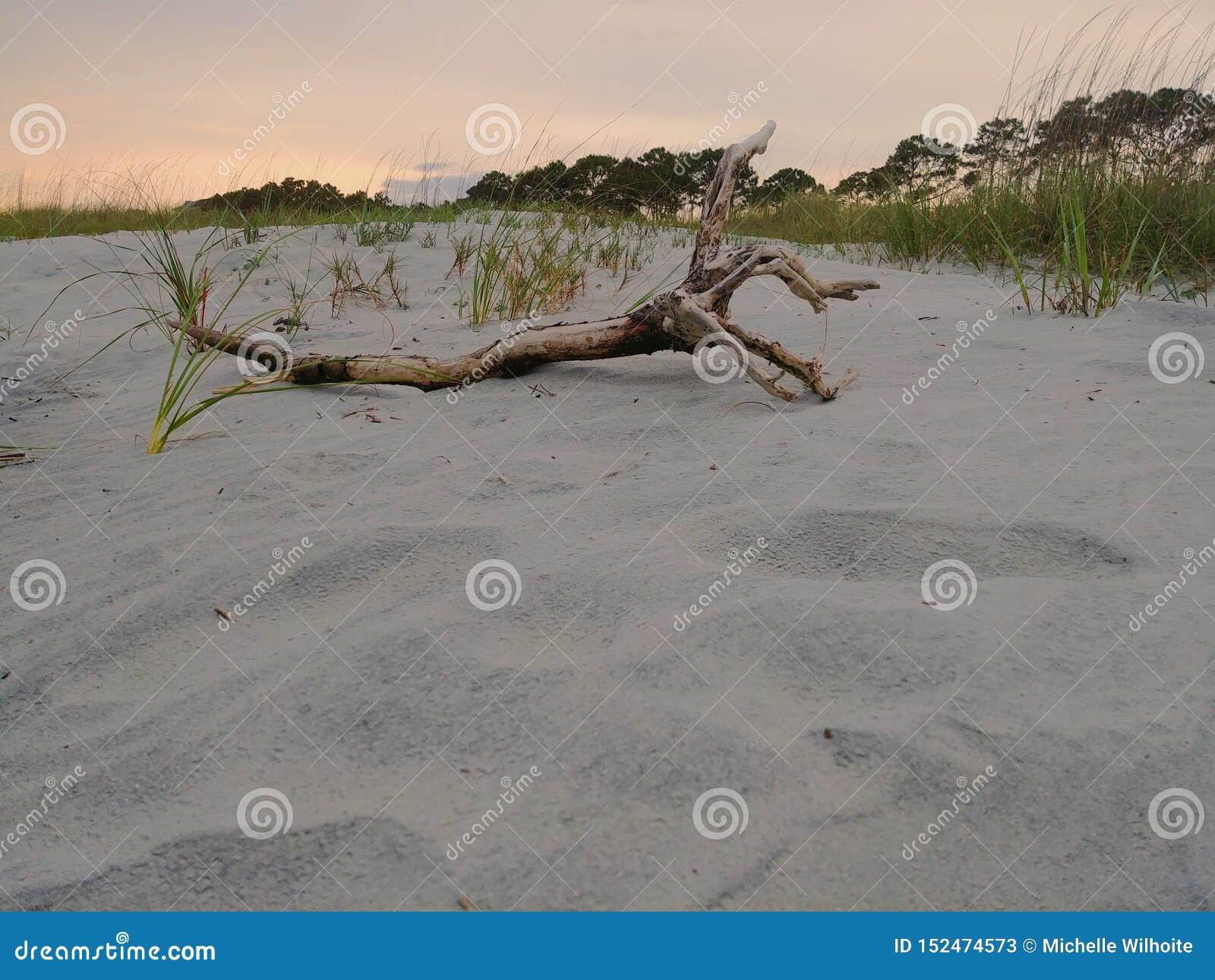 Bois de flottage sur une plage près de roseau des sables au coucher du soleil